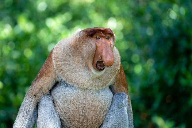 Portret van een wilde neusaap of nasalis larvatus, in het regenwoud van het eiland borneo, maleisië, close-up Premium Foto