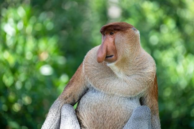 Portret van een wilde neusaap of nasalis larvatus in het regenwoud van het eiland borneo Premium Foto