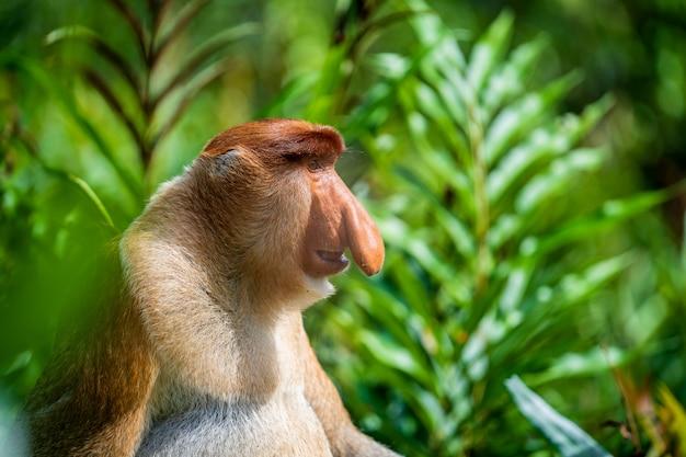 Portret van een wilde neusaap of nasalis larvatus Premium Foto