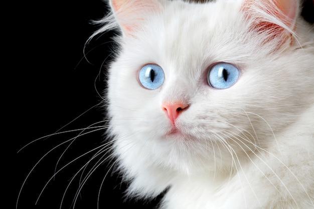 Portret van een witte kat. Premium Foto