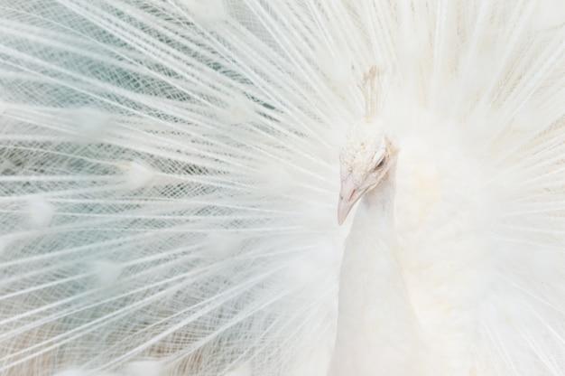 Portret van een witte pauw, met open veren, die de bruidsdans uitvoert. Premium Foto