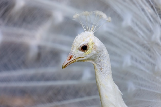 Portret van een witte pauw Premium Foto