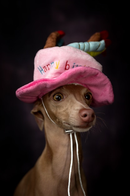 Portret van kleine italiaanse windhondhond met gelukkige verjaardagshoed Premium Foto