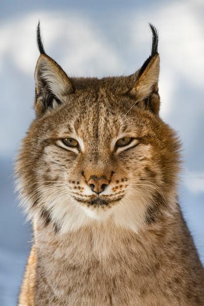Portret van lynx op een achtergrond van sneeuw in de natuurlijke omgeving Premium Foto