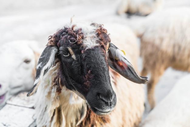 Portret van schapen Premium Foto