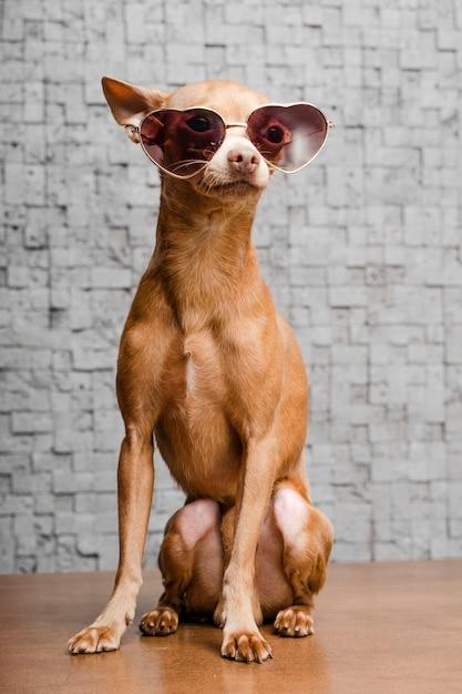 Portret van schattige chihuahua hond met zonnebril Gratis Foto