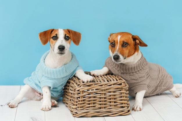 Portret van schattige honden in gebreide blouses, studiofoto van jack russell-puppy en zijn moeder. Premium Foto