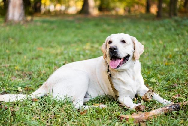 Portret van schattige labrador zittend op het gras Gratis Foto