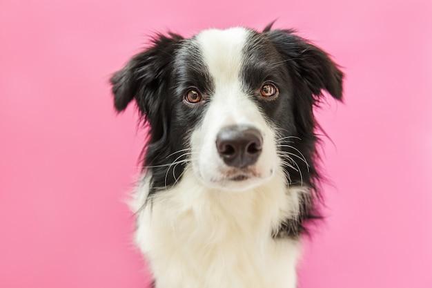 Portret van schattige lachende border collie geïsoleerd op roze achtergrond Premium Foto