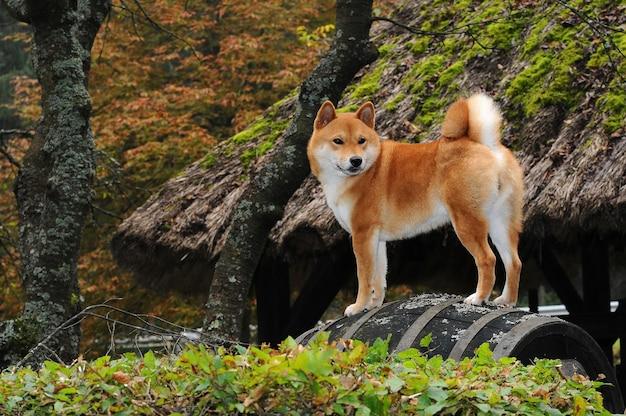 Portret van shiba-hond Premium Foto