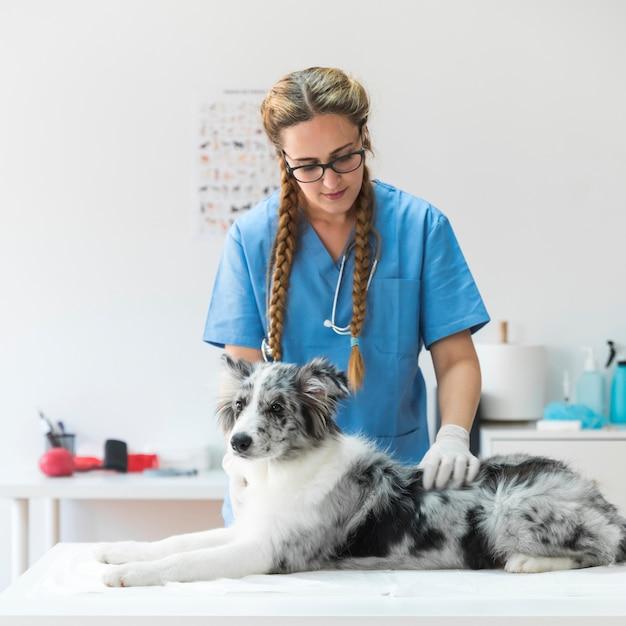 Portret van vrouwelijke dierenarts die de hond onderzoeken die op lijst in kliniek liggen Gratis Foto