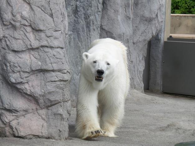 Portret van wandelende ijsbeer Premium Foto