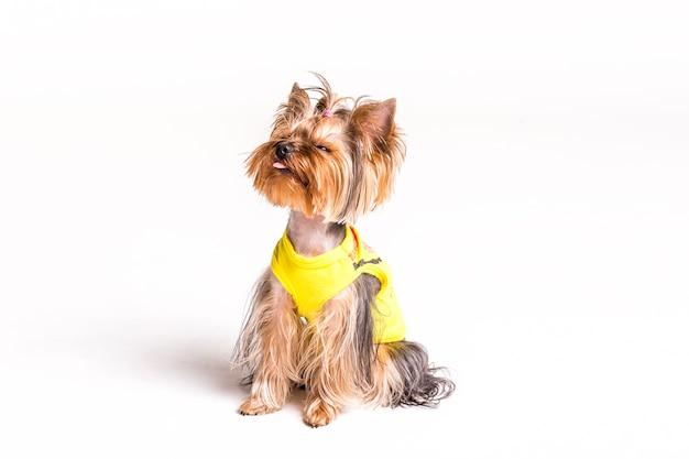 Portret van yorkshire terrier steekt tong uit Gratis Foto