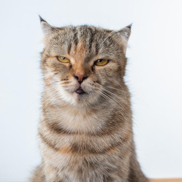 Portretfoto van schotse vouwenkat met irritant of boos gezicht. Premium Foto