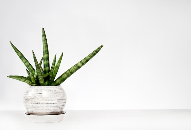 Pot sansevieria cylindrica var. patula (boncel) op een witte muur Premium Foto