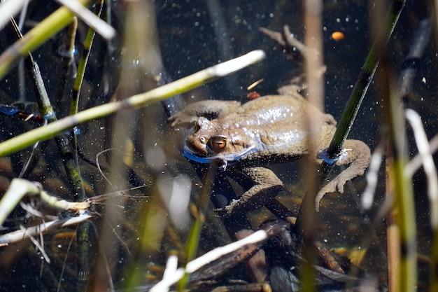 Prachtig shot van een kikker die zwemt in het kleine meer genaamd sulfne in zuid-tirol, italië Gratis Foto