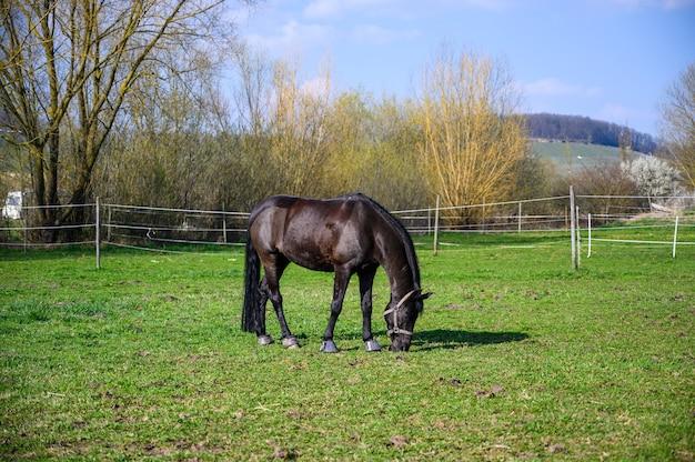 Prachtig uitzicht van een mooi zwart paard dat een gras eet Gratis Foto
