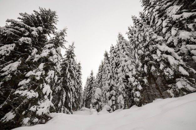 Prachtig winterlandschap. dicht bergbos met lange donkergroene sparren bedekt met schone diepe sneeuw. Premium Foto