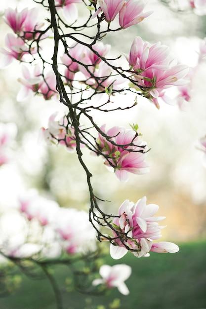 Prachtige bloesem magnolia tak in het voorjaar Gratis Foto