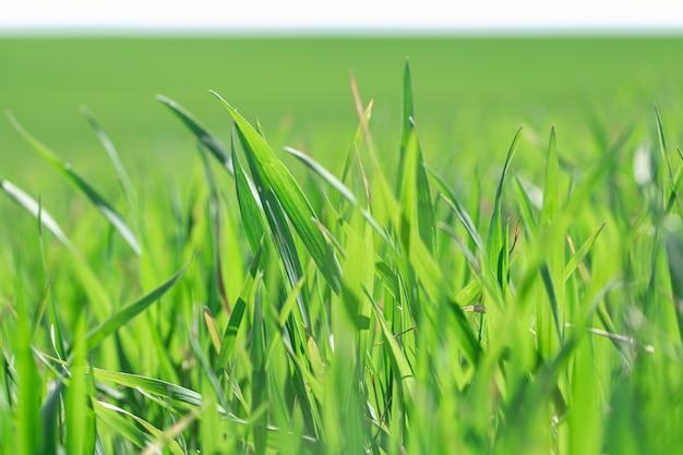 Prachtige groene tarwevelden. groene tarwespruiten in een gebied, close-up. Gratis Foto