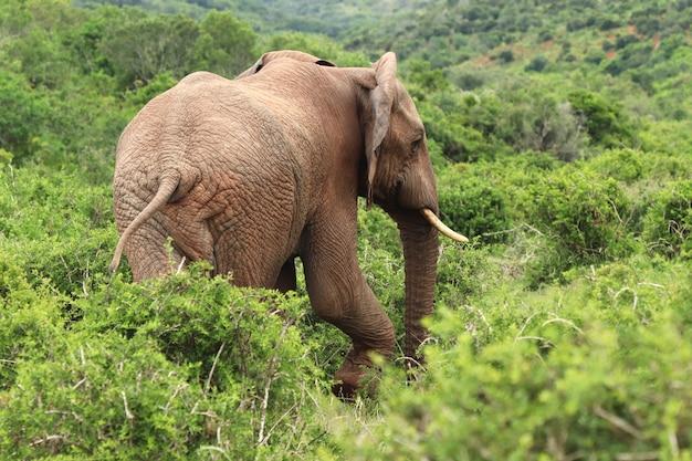 Prachtige olifant die tussen de struiken en planten loopt, van achteren gevangen Gratis Foto