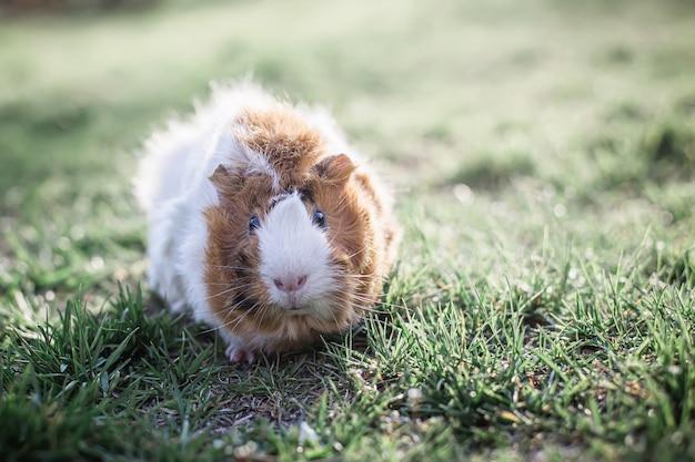 Proefkonijn in groen gras. verse groenten in huisdierenvoeding. getint. plaats voor tekst. Premium Foto