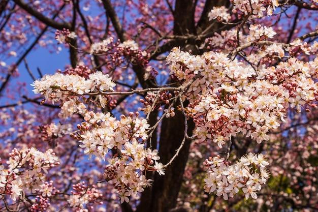 Pruim roze bloemen en blauwe hemel heldere achtergrond Premium Foto