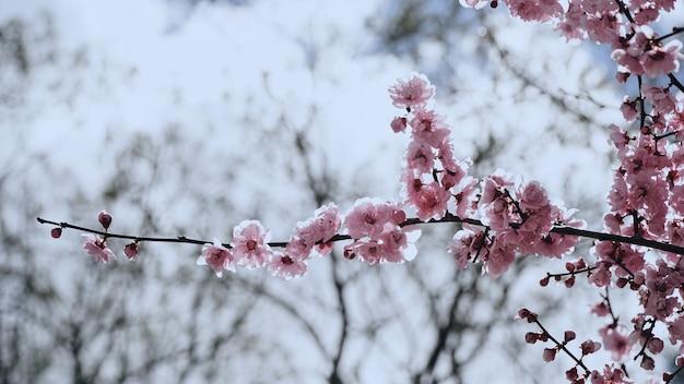 Pruimbloem op de boomtakken op de pruimboom Premium Foto