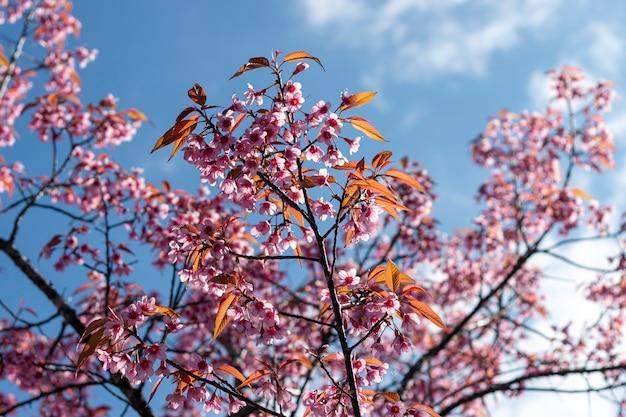 Pruimbloesems die in de blauwe hemel glanzen Premium Foto