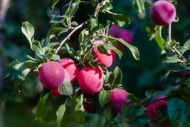 Pruimenboom met heerlijke grote rode pruimenclose-up Premium Foto