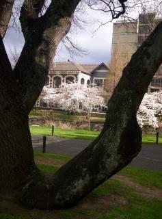 Prunus floresence Gratis Foto