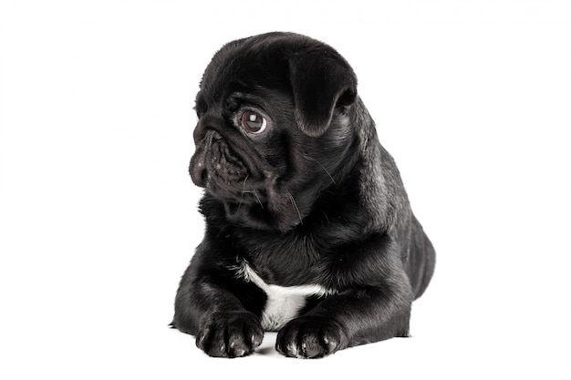 Pug hond geïsoleerd Premium Foto