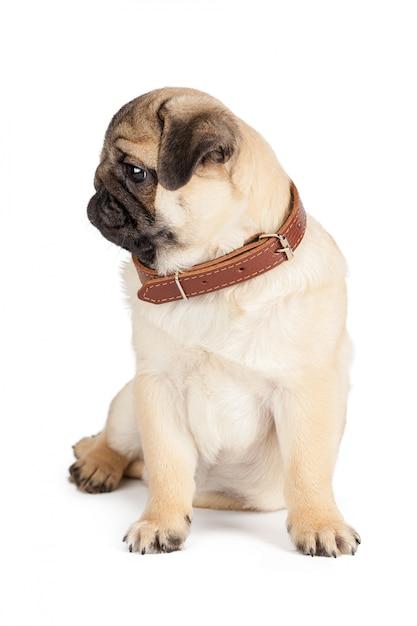 Pug hond op een wit wordt geïsoleerd dat Premium Foto