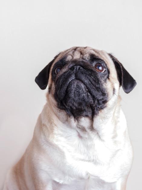 Pug van de hond close-up met droevige bruine ogen die omhoog eruit zien. portret op witte achtergrond Premium Foto