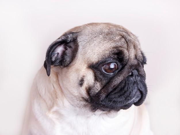 Pug van de hond close-up met droevige bruine ogen. portret op witte achtergrond Premium Foto