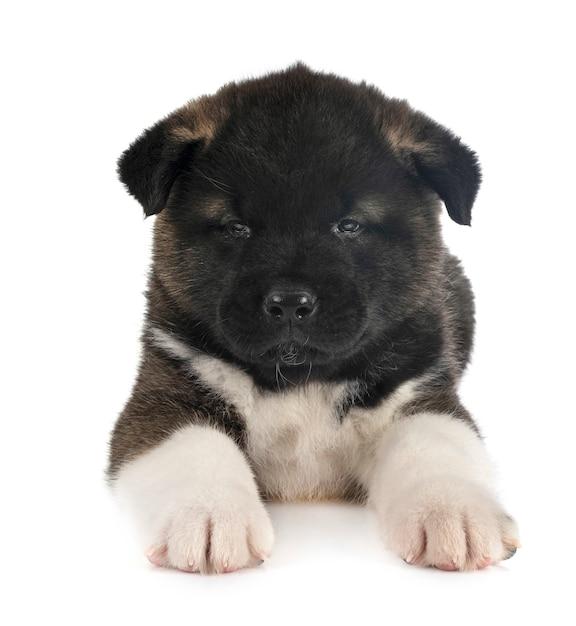 Puppy amerikaanse die akita op wit wordt geïsoleerd Premium Foto