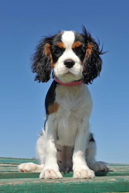 Puppy arrogante koning charles Premium Foto