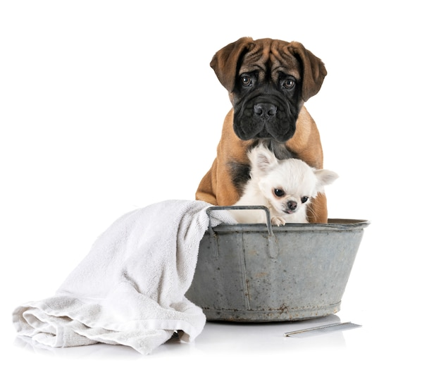 Puppy bullmastiff en chihuahua in bad Premium Foto