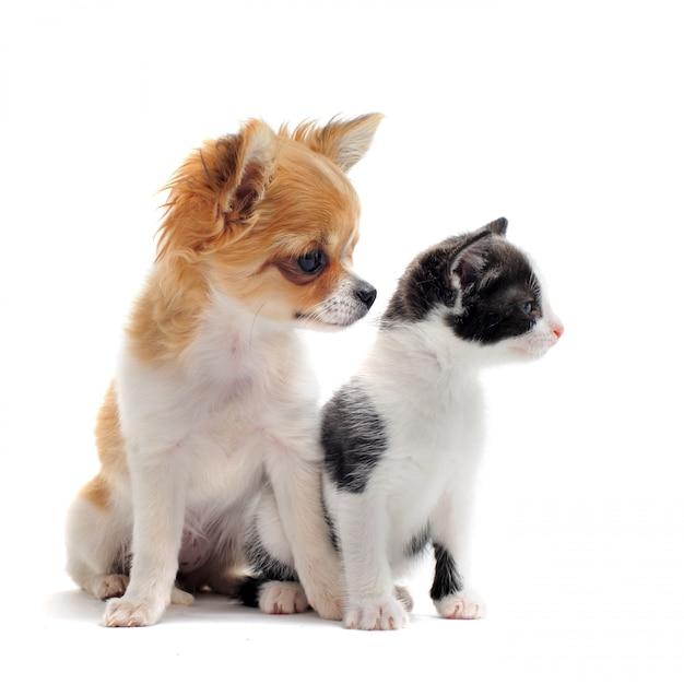 Puppy chihuahua en kitten Premium Foto