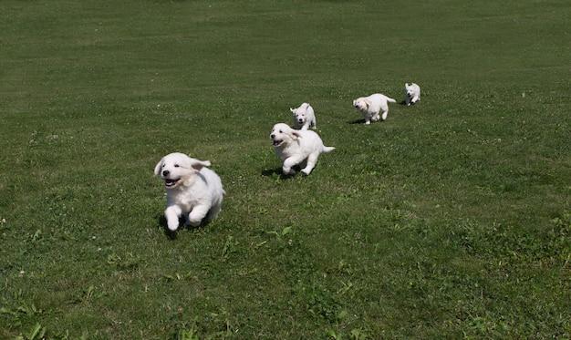Puppy golden retriever-puppy die rond op de weide lopen Premium Foto