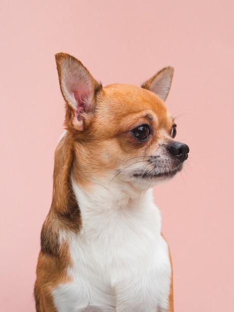 Puppy van vooraanzicht het leuke chihuahua met gealarmeerde oren die weg kijken Gratis Foto