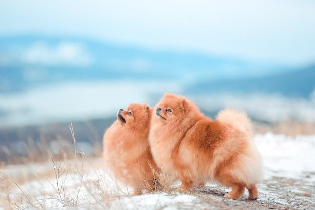 Puppyspitz in de bergen in de winter Premium Foto