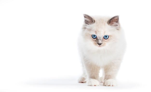 Ragdoll kat, klein kitten portret op witte achtergrond Premium Foto