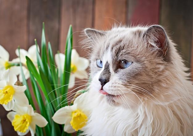 Ragdoll kattenras en een vaas met narcissen Gratis Foto