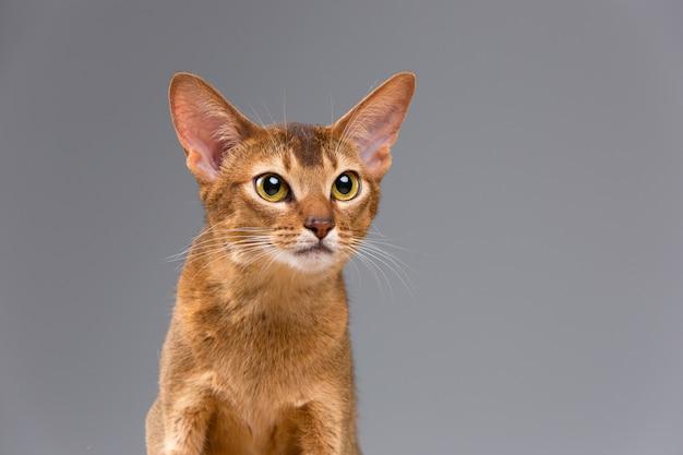 Rasecht abyssinian jonge kattenportret Gratis Foto