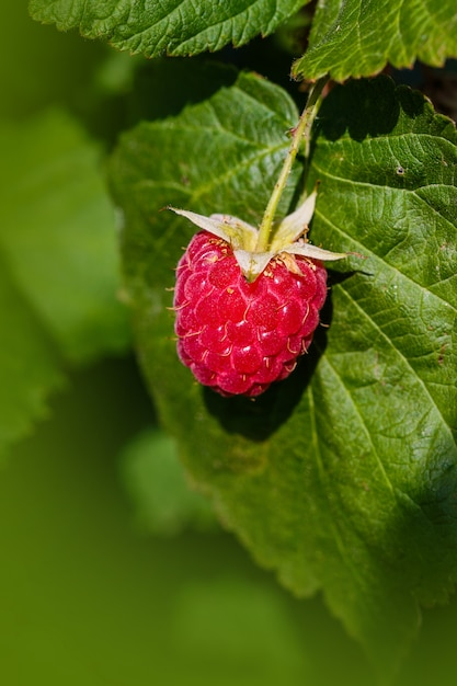 Raspberriy. groeiende organische bessenclose-up. rijpe frambozen in de fruittuin Premium Foto