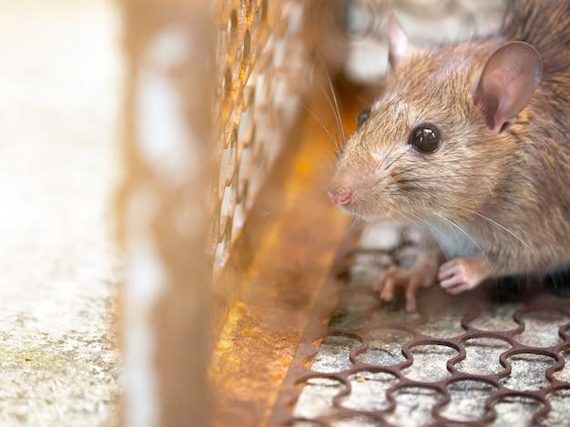 Rat zit gevangen in een valkooi of val. Premium Foto