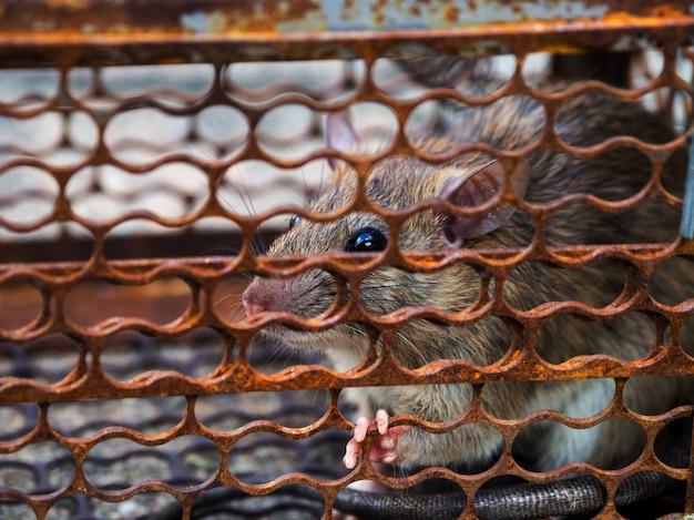 Rat zit vast in een valkooi of val. Premium Foto