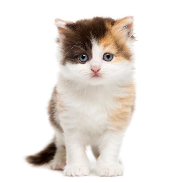 Rechte het katje van het hoogland status geïsoleerd op wit Premium Foto