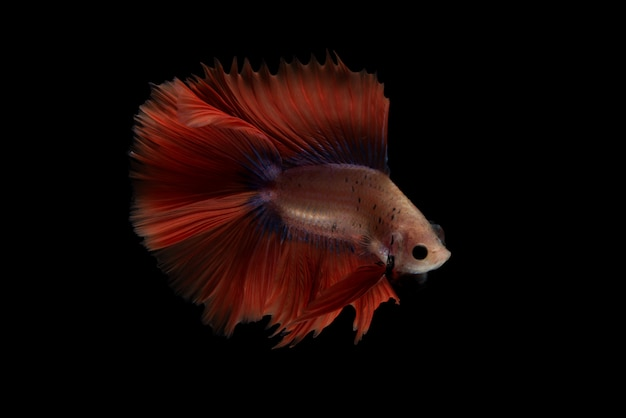Red betta fish Gratis Foto